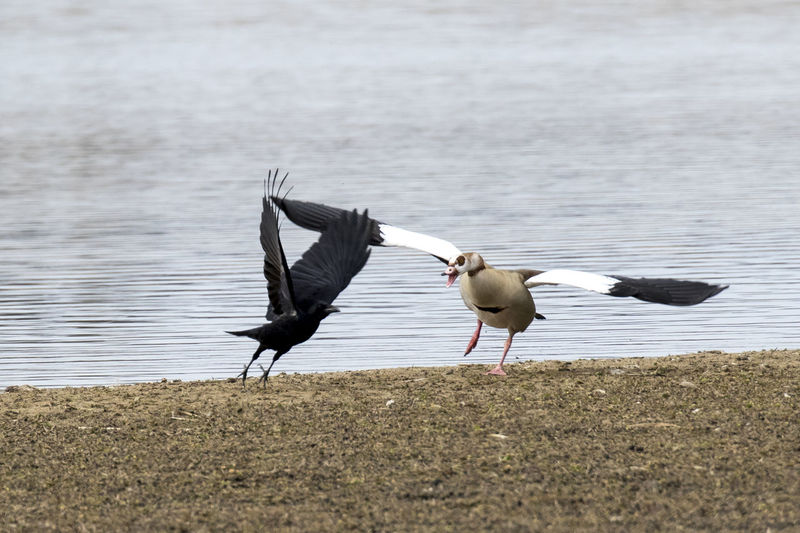 Birds fighting at lakeshore