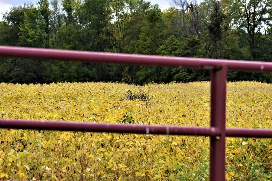 Soy Bean Field Agriculture Farm Soy Beans Barrier Beauty In Nature Boundary Day Farming Fence Field Forest Growth Land Metal Nature No People Outdoors Plant Railing Red Gate Soy Bean Fields Tranquil Scene Tranquility Tree Yellow
