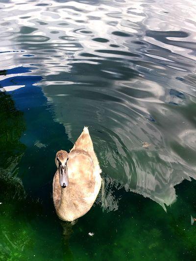 Theuglyduckling Swan Babyanimal Baby Animals The Ugly Duckling Lake Eola Animal Themes One Animal Water Wildlife Rippled Bird Lake Animal Beak Nature Swimming Animal Outdoors Water Bird Cute Young