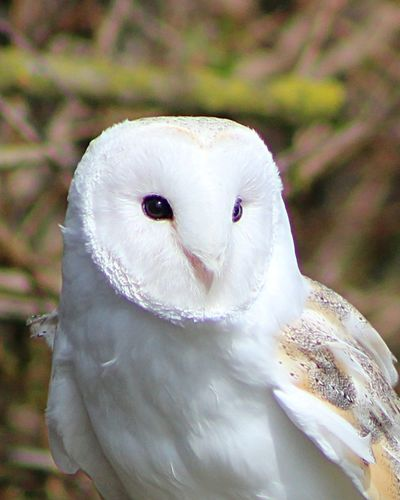 Barn Owl Beautiful Stunning Birds Of Prey Nature Stonham Barns Suffolk United Kingdom