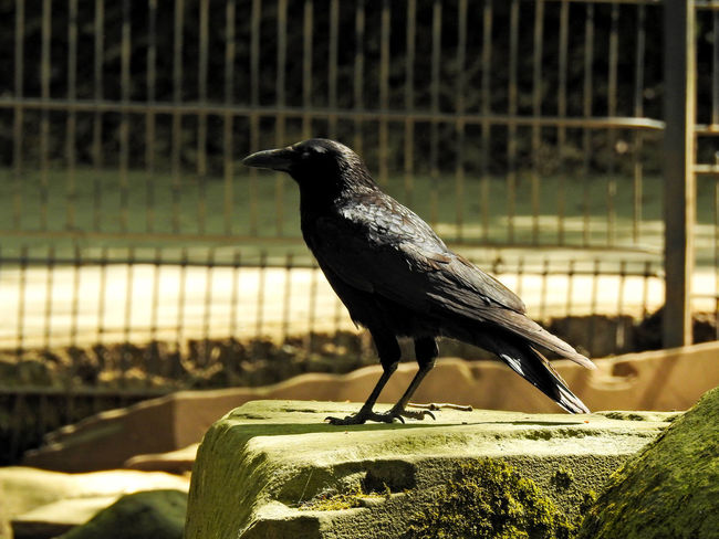 Abraxas Animal Animal Themes Animal Wildlife Animals In Captivity Animals In The Wild Barrier Bird Black Bird Boundary Close-up Crow Day Focus On Foreground Metal Nature No People One Animal Outdoors Perching Raven - Bird Side View Vertebrate Wood - Material