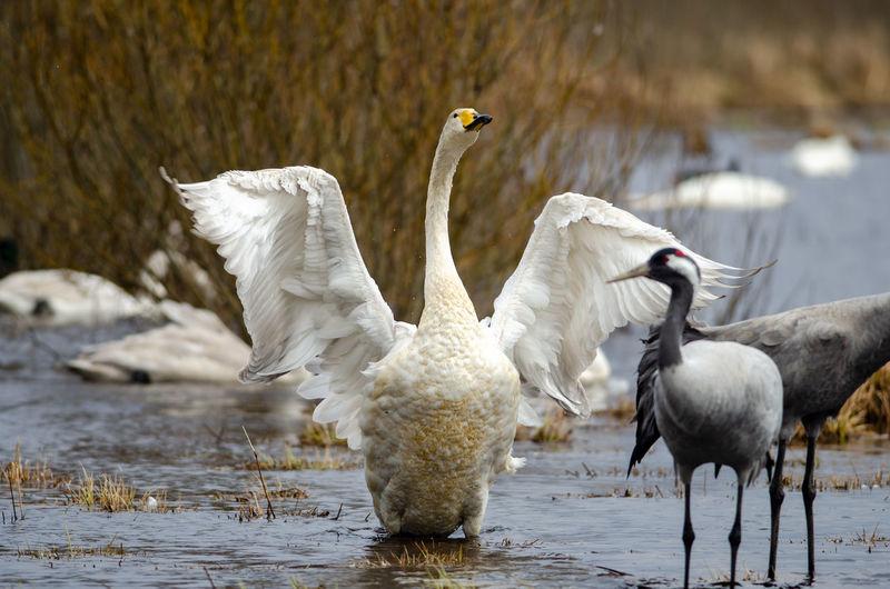White birds in a lake