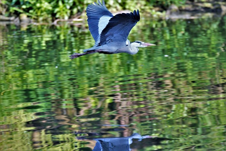 flying heron Reflection Animal Animal Themes Animal Wildlife Animals In The Wild Beauty In Nature Bird Bird In Flight Day Flying Flying Heron Focus On Foreground Great Blue Heron Heron Mid-air Motion Nature Nature_collection No People One Animal Outdoors Spread Wings Vertebrate Water Water Bird