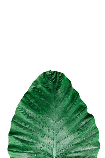 Close-up of wet leaf against white background