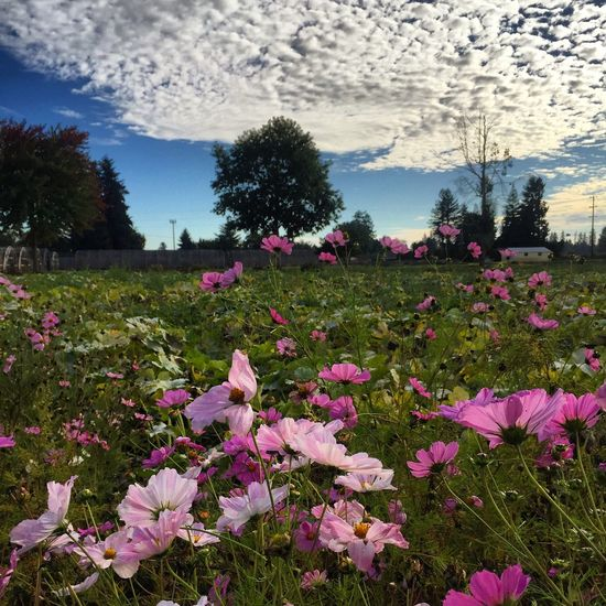 Fall on the farm. Nature Fall Beauty Blue Sky Clouds And Sky Angle IPhoneography No People Fragility Freshness Day Outdoors Blue Skies Beauty In Nature Petal Pink Flowers Clouds Collection Bumpy Flower Secret Garden