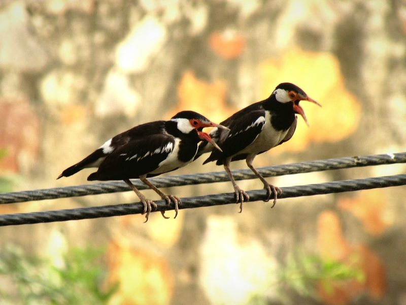 Singing Couple Birds Asian Pied Starlings Pied Myna Bird Couple
