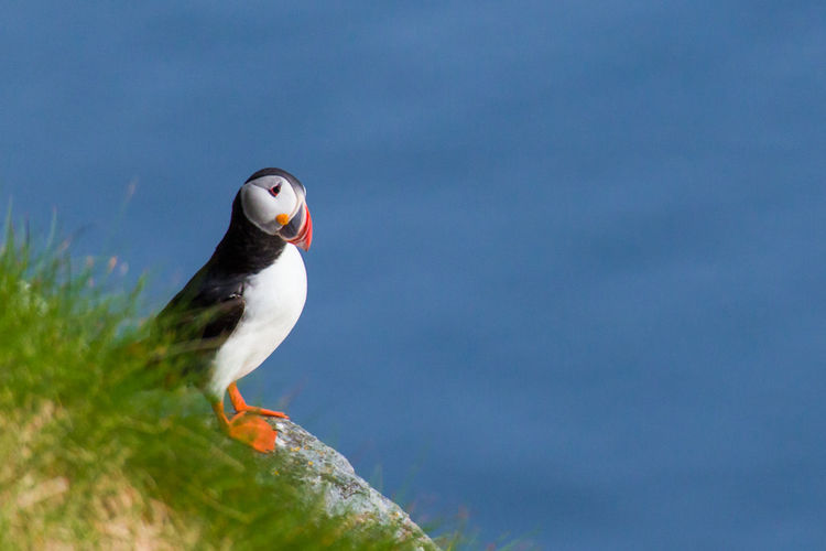 Puffin at a cliff Puffin Vogel Animal Animal Themes Animal Wildlife Animals In The Wild Beauty In Nature Bird Cliff Close-up Day Focus On Foreground Free Space Klippe Natur Nature No People One Animal Outdoors Papageitaucher Perching Selective Focus The Traveler - 2018 EyeEm Awards