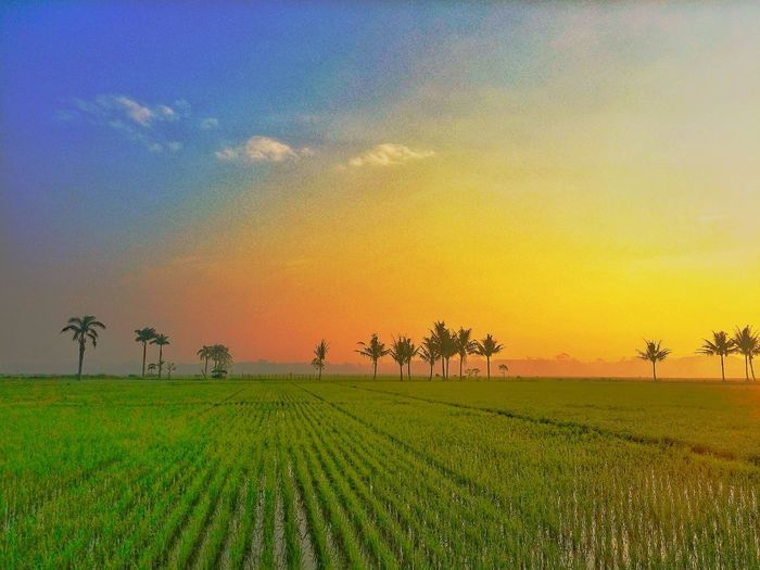 Tree Rural Scene Sunset Rice Paddy Agriculture Field Sky Landscape Combine Harvester Wiltshire Agricultural Equipment Irrigation Equipment Cultivated Land Rice - Cereal Plant Farmland Crop  Agricultural Machinery