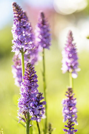 Close-up of lavender blooming outdoors