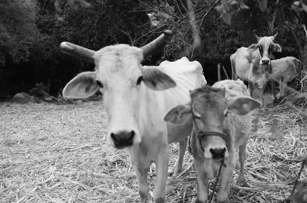 In/out focus. Cow Cattle Michoacan, México Leica Blackandwhite Black And White Black & White Blackandwhite Photography Black And White Photography Blackandwhitephotography EyeEm Vision EyeEm Best Shots