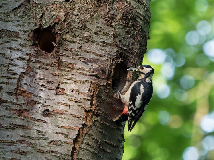 Animal Themes Animals In The Wild Bird Female Great Spotted Woodpecker Great Spotted Woodpecker Great Spotted Woodpecker Nest Male Great Spotted Woodpecker Tree Tree Trunk Woodpecker Woodpecker In Tree Woodpeckerholes Woodpeckers