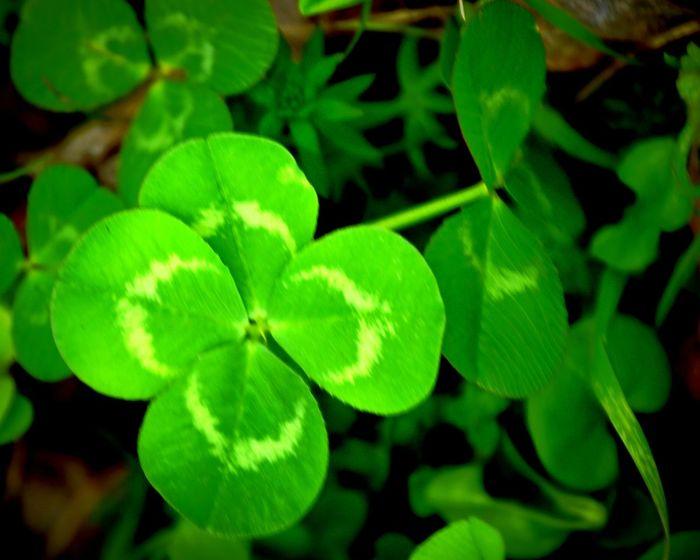 Fourleafclover Luckycharm Luck Of The Irish Clovers