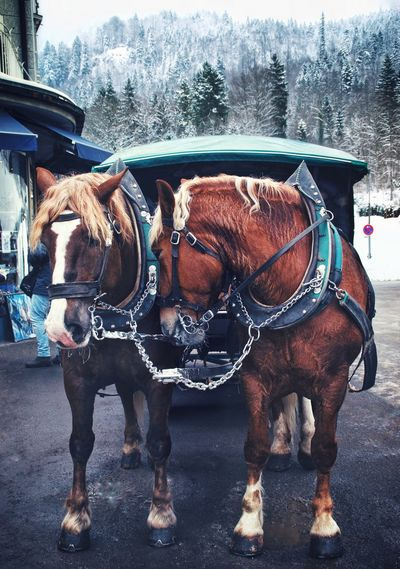 Horses of germany