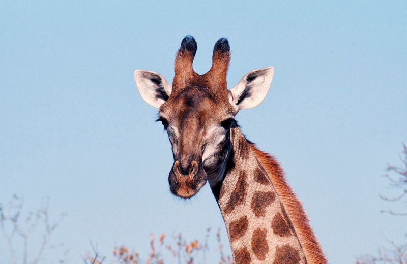 Close-up of giraffe against sky