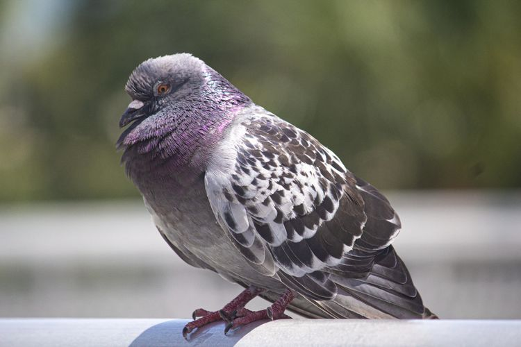 Close-up of pigeon perching on railing