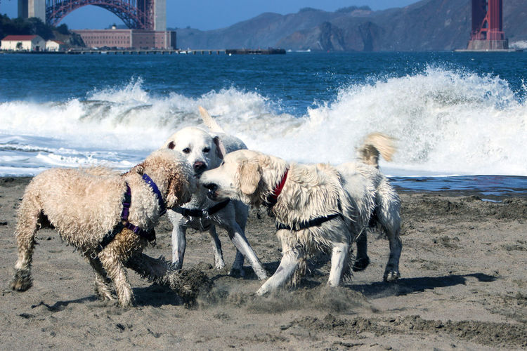 Dogs on Crissy Field Beach in San Francisco, USA Outdoors Group Of Animals Motion Domestic Domestic Animals Animal Pets Canine Dog Animal Themes Water Sea Crissy Field Beach Crissy Field Breaking Waves Breaking Wave Beach Photography Beach USA SF San Francisco California Dog On The Beach Dogs On The Beach