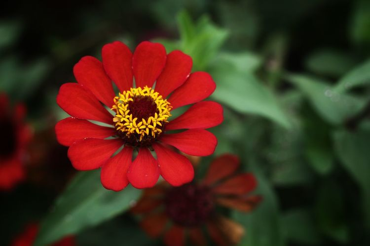 Close-up of red zinnia blooming at park
