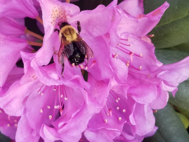 Bumble bee collecting nectar from Rhodroden bush Beauty In Nature Flower Pink Color Insect Petal Nature One Animal Fragility Purple Plant Bee Flower Head Close-up Animals In The Wild Animal Themes Animal Wildlife Outdoors No People Growth Day Rhododendron Bumble Bee Wings Collecting Nectar Pollination