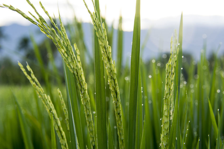 Rice Rice Paddy Rice Paddy Fields Growth Green Color Plant Agriculture Nature Close-up Beauty In Nature Field Crop  Land Cereal Plant No People Landscape Focus On Foreground Day Rural Scene Farm Grass Freshness Outdoors Blade Of Grass