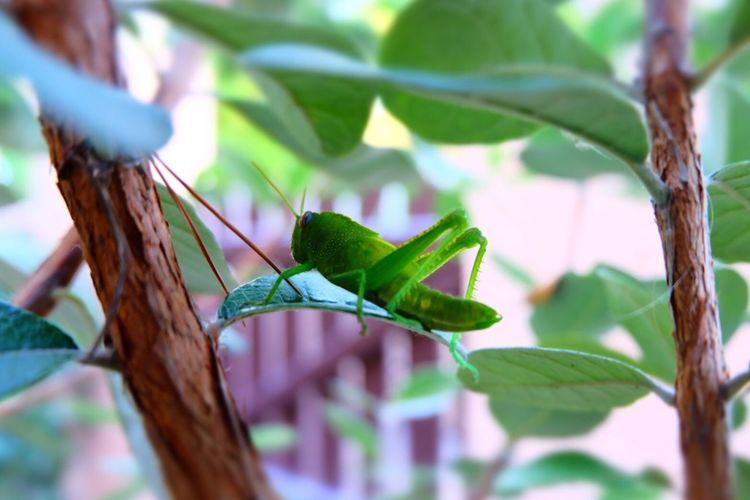 Close-Up Of Cricket On Leaf