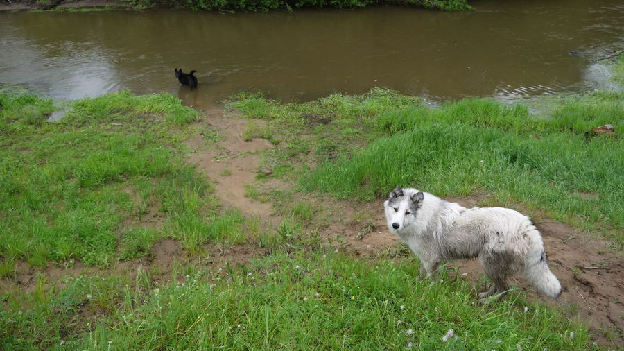Sheep on grass by water