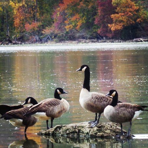Ducks Mtvernontrail