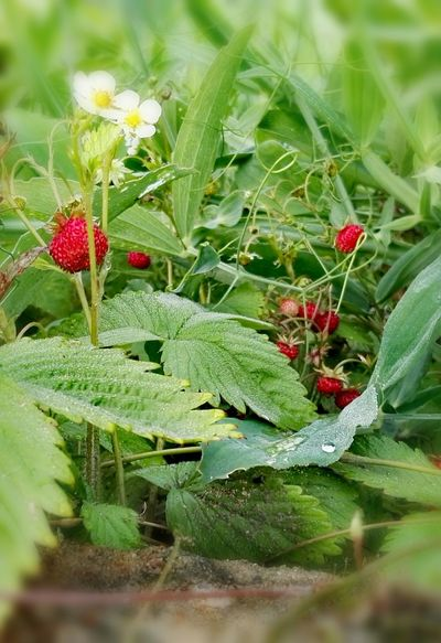 Check This Out Wild Strawberries Wild Berries Nature Photography Natural Beauty EyeEm Nature Lover Fine Art Photography Beauty In Nature Orginal Experiences The Essence Of Summer