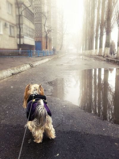After The Rain Calm Wet Weather Architecture Reflection Dog Yorkie Yorkshire Terrier Walking The Dog Foggy Weather Spring Tranquility Foggy Morning Springtime Foggy Town The Way Forward Cold Temperature Rainy Season Water Rain Built Structure Walking Growth