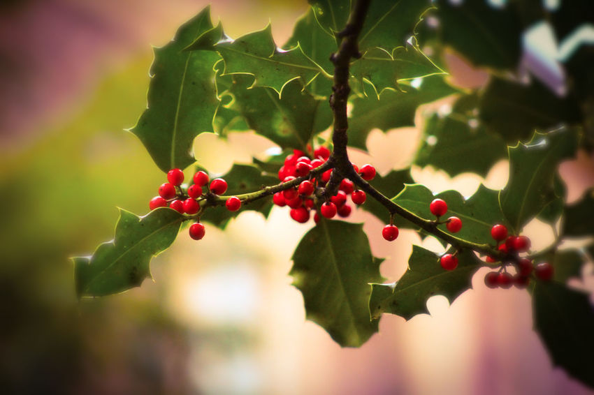 Holly Berries Holly Tree Autumn colors Herbstlich EyeEm Nature Lover EyeEm Best Shots Beauty In Nature Tree Branch Fruit Red Leaf Close-up Plant Berry Twig