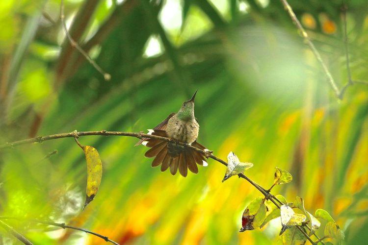 Birds Humingbird Humingbird On Branch Hummingbird With Nature Wildlife