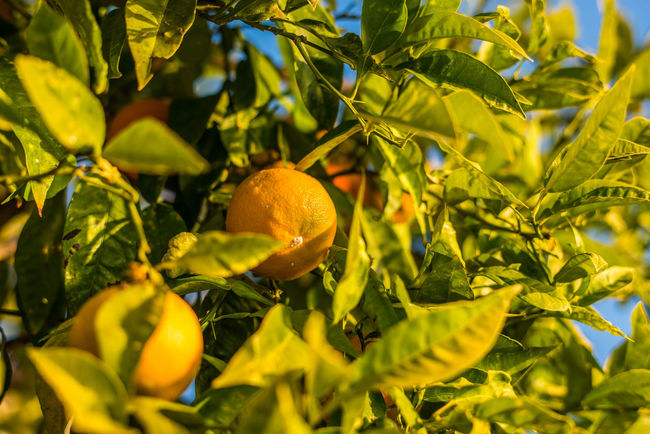 Agriculture Beauty In Nature Citrus Fruit Close-up Day Food Food And Drink Freshness Fruit Green Color Growth Healthy Eating Leaf Nature No People Orange Tree Outdoors Tree