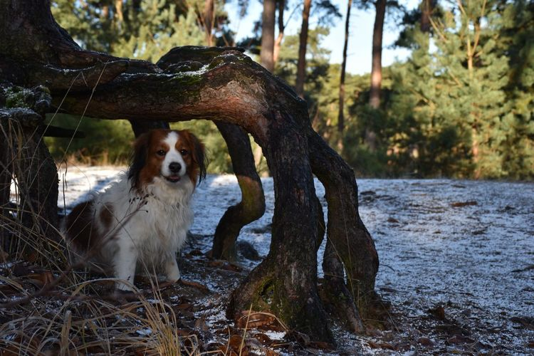 A great place to hide... 3XPSUnity Adventure Club Animal Themes Animals Posing Capture The Moment Cute Dog  Day Dog Dogs Of EyeEm Domestic Animals EyeEm Gallery Forest Trees FUNNY ANIMALS Kooikerhondje  Mammal Nature No People One Animal Outdoors Pets Photooftheday Tree Waiting Water Winter Wonderland