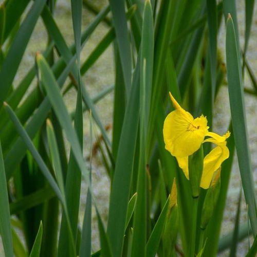 Beauty of the swamp http://www.rhme.de/beauty-swamp #nikon #d5200 #swamp #flower #subtle #hidden #yellow Flower Hidden Yellow Nikon Subtle Swamp D5200