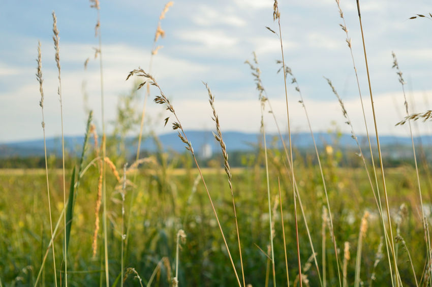 Cereal on focus Cereal Beauty In Nature Field Focus On Foreground Grass Landscape Nature No People Plant Summer Tranquility