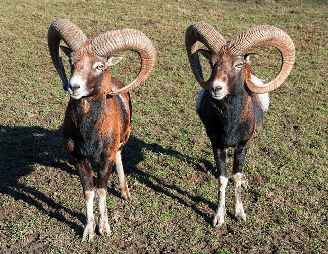 Two Rams Animal Animals Goats Looking At Camera Mamals Rams Twins Wild Park Zoo
