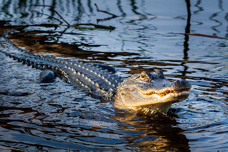 Water One Animal Reptile Animal Themes Animal Wildlife Crocodile Animal Animals In The Wild Vertebrate Animal Body Part Nature Swimming Day Animal Head  No People Sign Lake Warning Sign Survival Outdoors Animal Scale Animal Eye Stealth Aggression