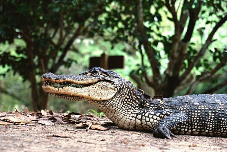 Alligator spotting in southern Louisiana Nature Reptile Alligator Animals In The Wild Louisiana USA Close-up Wildlife No People One Animal Avery Island First Eyeem Photo