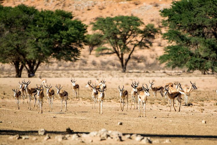 Herd of gazelle on landscape