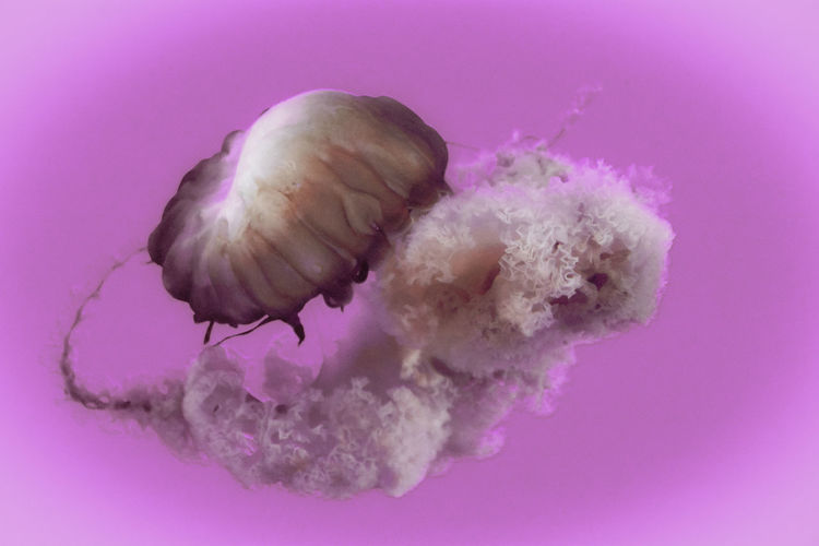 Close-up of jellyfish against pink background