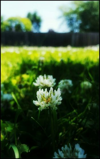 Fields of clover🍀🌼🍀 Clovers  Beautiful Nature Flowers Smells Wonderful My Yard  Weeds Are Beautiful Too EyeEm Nature Lover Green