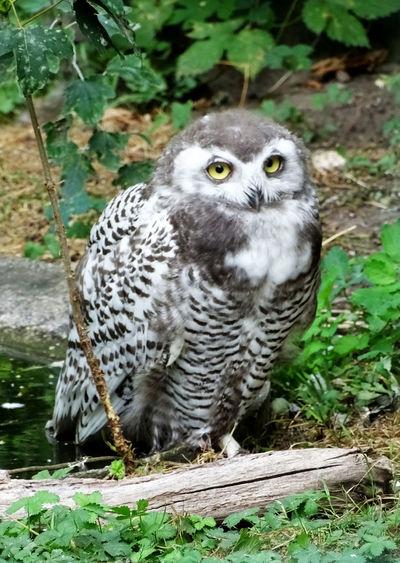 Animal Themes Animal Portrait Owls Bird Photography Bird Of Prey Bird Owl Portrait Looking At Camera Close-up Grass