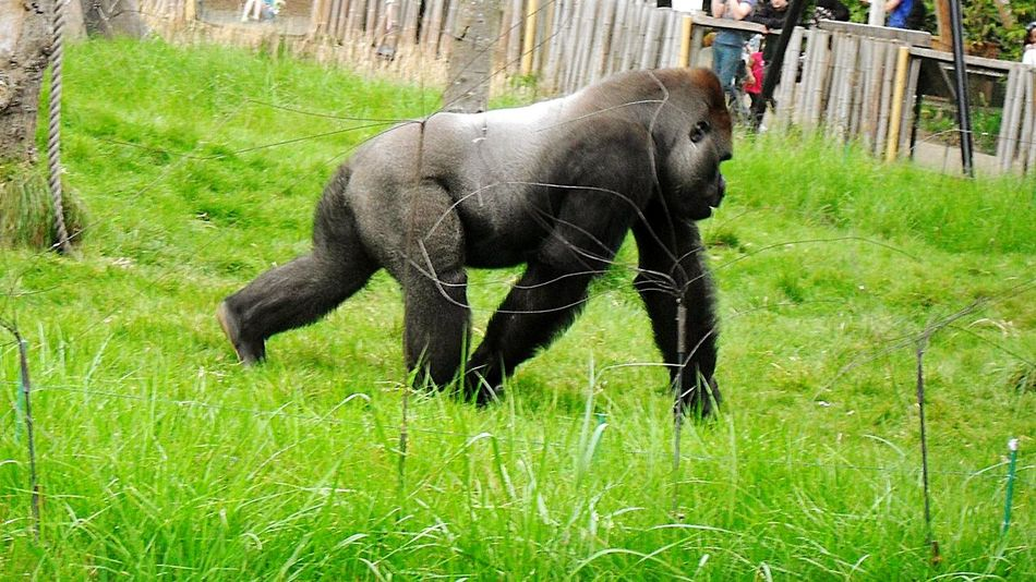 Nature Animals Beautiful Zoo EyeEm Animal Lover Animal Photography EyeEm Best Shots EyeEm Best Shots - Nature Nature Photography Beautiful Nature Nice Shot Photooftheday Gorilla Gorillas Gorila Silverback Gorilla
