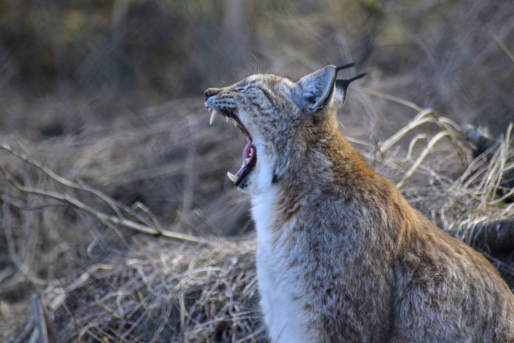 Animal Themes Animal Wildlife Animals In The Wild Day Mammal Mouth Open No People One Animal Outdoors Yawning