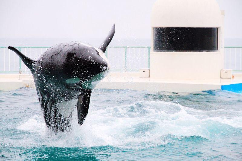 Killer whale jumping in aquarium