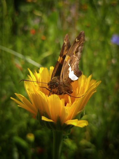 Insect Plant Flower Nature Animal Wildlife Uncultivated No People Outdoors Beauty In Nature Close-up Flower Head Day Perching Pollination Butterfly - Insect Collecting Nectar Yellow Skipper Butterfly