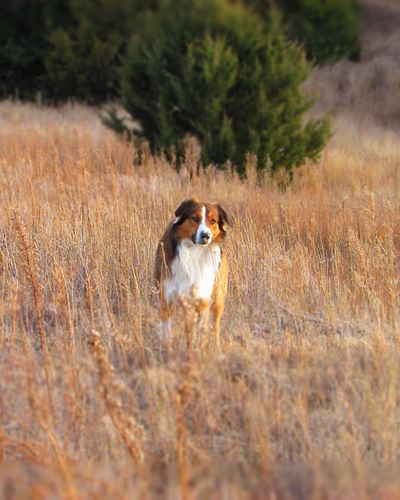One Animal Animal Themes Domestic Animals Mammal Pets Dog Field Grass No People Nature Growth Outdoors Day 3XSPUnity Autumn Kansas Beauty In Nature English Shepherds Dogs Of EyeEm Outdoor Dog Fall Beauty I Love My Dog