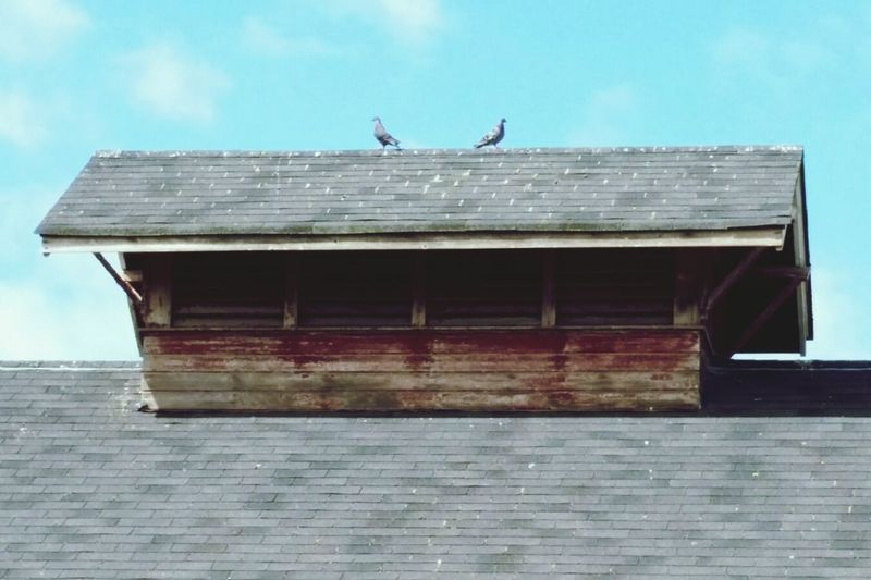 Pigeons on a barn Farmlife Farmfarmscape Pigeons Pigeonsbirds On A Barn birds