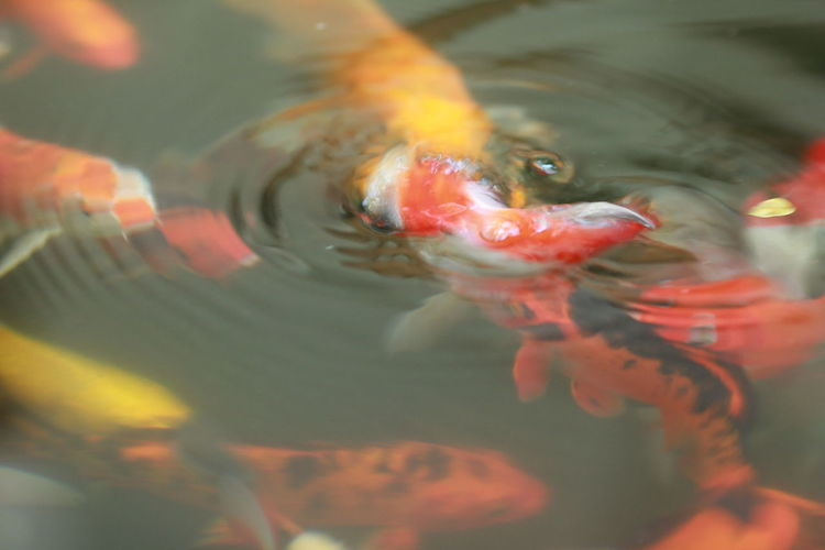 Animal Animal Themes Animal Wildlife Animals In The Wild Carp Close-up Fish Goldfish Group Of Animals Koi Carp Marine Nature No People Outdoors Sea Sea Life Swimming Underwater Vertebrate Water