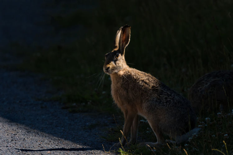 Portrait of hare on field during sunny day