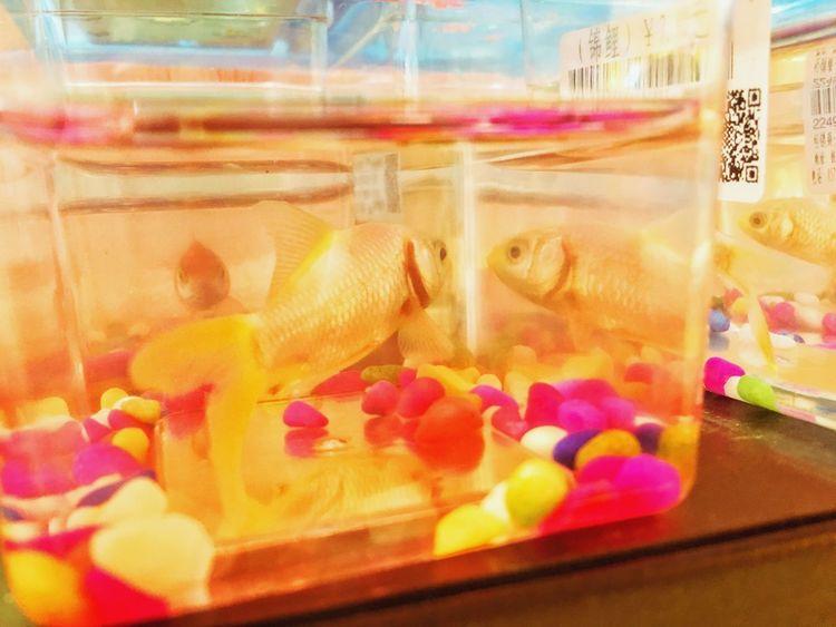 Indoors  No People Close-up Food Goldfish Fishbowl Animal Themes Freshness